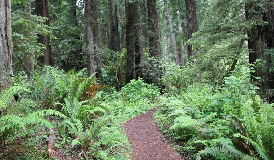 trail in a redwood forest